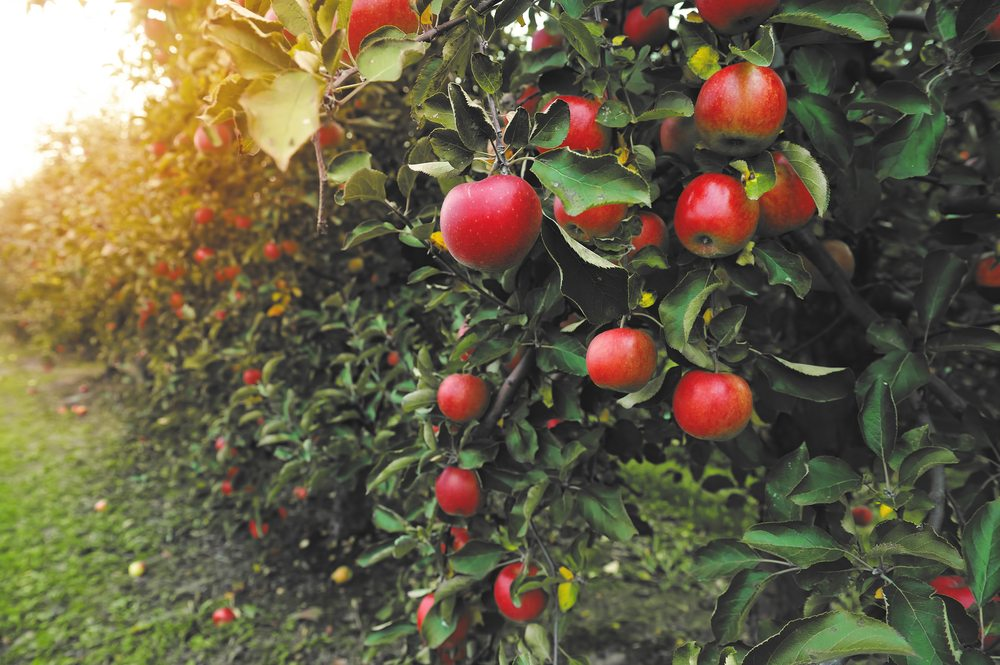 Heritage apples are an American trend used well in international cuisine.